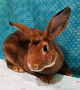 Male Mini Rex Bunny (Flynn)
