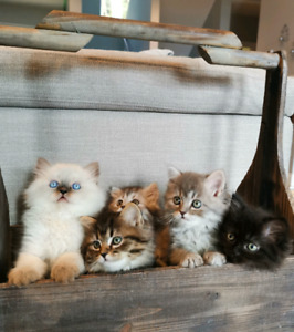 Purebred Persian Kittens for Valentine's Day Gifts!
