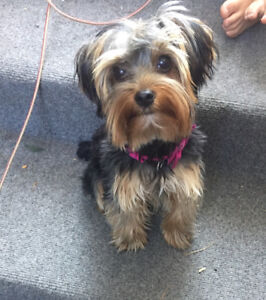 Wanted : Teacup yorkie / male