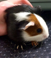 Baby guinea pigs, 3 weeks old!