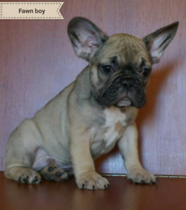 Fawn French Bulldog puppy, boy
