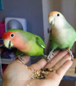 Baby lovebirds