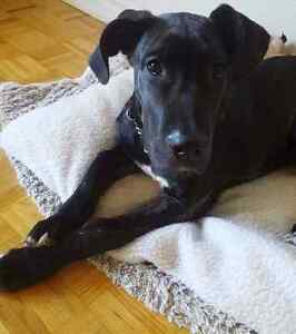 Great dane  Pressa canario cross puppies