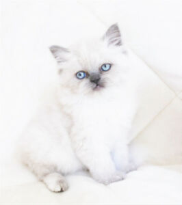 Blue Eyed Female Persian Kittens are ready for adoption