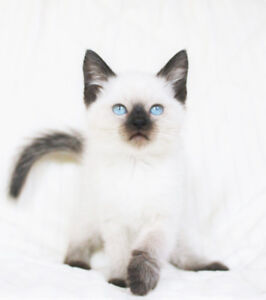 Beautiful Siamese / Ragdoll Kittens for Rehoming