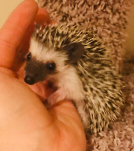 Sweetest baby Hedgehogs no waiting list and local!