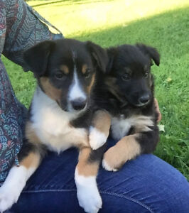 Border Collie Mix Puppies for Sale!!!