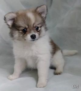 Pomeranian puppies!