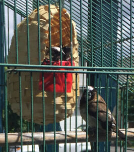 Young male Society Finches FREE