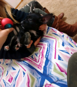 ❤❤ Chinese Crested Mexican Xolo Puppies❤❤