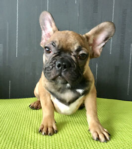 French Bulldogs puppes