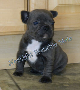 CKC Reg'd French Bulldog pups, Blue, Blue/Fawn, Blue/Brindle