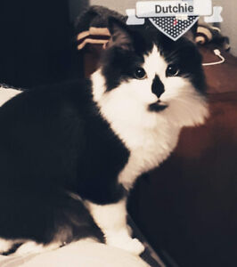 Lost very shy beautiful  family cat in Welland...