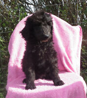 Standard poodle pups available