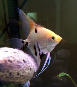 A pair of gold marble angelfish