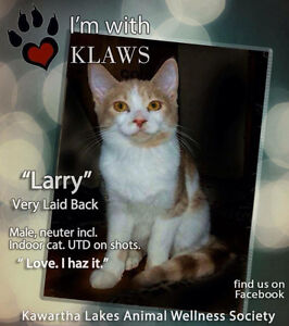 Larry~Young Kitty for Adoption! Kawartha Lakes Peterborough Area image 2