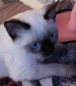 NEED HOME ASAP FOR MY CHOCOLATE POINT SIAMESE