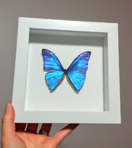 Ethically collected and sourced Framed Butterflies