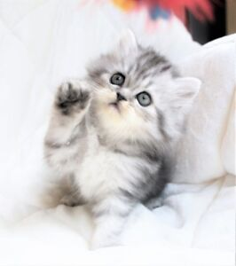 Beautiful Persian kittens are ready for adoption,.