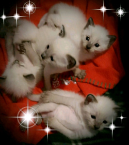 ❤MIGNONS BB CHATONS SIAMOIS❤BEAUTIFUL PURE SIAMESE BB KITTENS❤