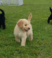 Goldendoodles for sale - ready to go now
