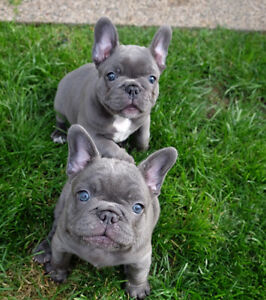 Top Quality french Bulldog Puppies Oakville / Halton Region Toronto (GTA) image 1