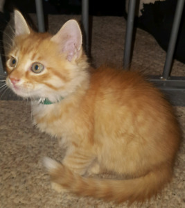 Four Gorgeous Male Ginger Kittens Available