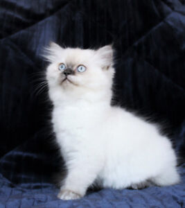 FEMALE PERSIAN KITTEN WITH BLUE EYES