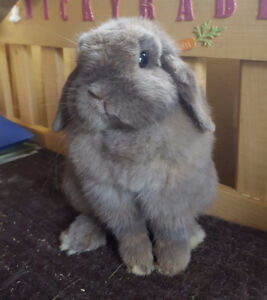 Lapin nain femelle ''Holland Lop Blue Tort''