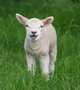Looking for Lambs and Goats to butcher