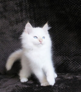 Cream Point Male Ragdoll Kittens are available for adoption
