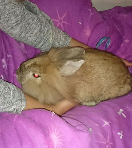 Free to a good home Dwarf Lion Head rabbit