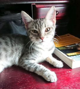 Silver spotted female kitten - 4 months old