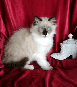Purebred Ragdoll Female Kitten