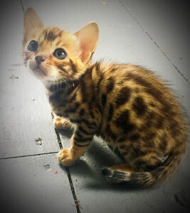 Registered Bengal Kittens - TOP QUALITY