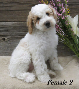 Mini Multi gen Goldendoodles Available!