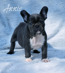 Blue french bulldog girl and boy