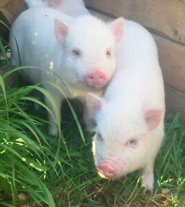 2 Male Pink Mini Pigs for Sale