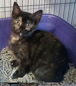 Ireland -rescued female tortoiseshell kitten for adoption