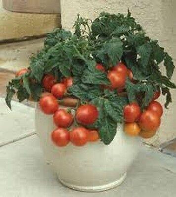Patio F1 Hybrid Tomato Seeds - Very compact plants!!! Mmmm... Free Ship!!!!