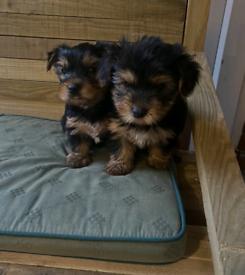 Beautiful Yorkshire terrier boy puppies