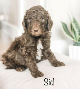 Poodle Adopt Dogs Puppies Locally In Winnipeg Kijiji