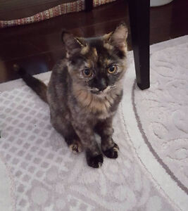 Adorable Persian/Siamese kitten for rehoming