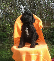 Standard poodle pups available MALES omly