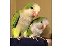 Quaker parrots x 2 and large cage