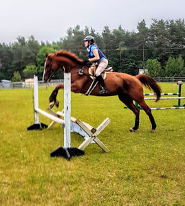 17hh tb gelding available for part board Sept. 1