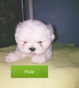 Shih-tzu puppies for sale.Ready to go.First Needle and Deworming
