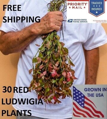 30 Ludwigia Repens Red plants live aquarium plants aquascaping planted tank.