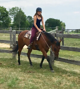 Versatile Gelding - Jumping, Western, Trails, Lead-line etc!