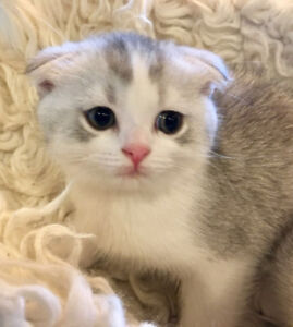 4 Purebred Scottish Fold and Straight kittens For Sale